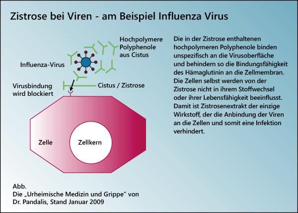 Zistrose gegen Influenza, Corona...